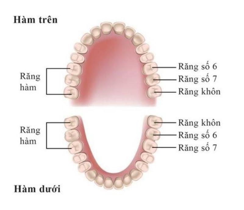 Răng số 6 nằm ở phía khuất và sâu bên trong khung hàm.
