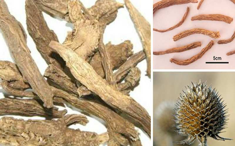 Bài thuốc với nam hoàng bá và nam tục đoạn giúp giảm đau tiêu sưng và kháng viêm.