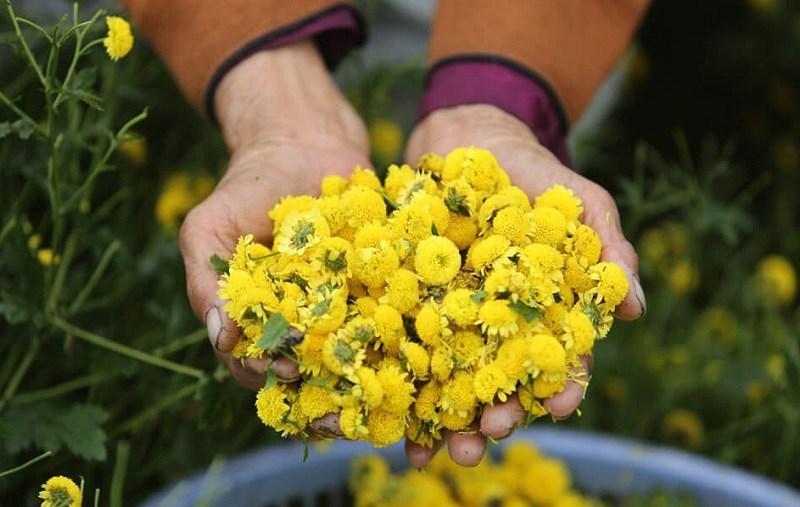 Trị sâu răng bằng hoa cúc được rất nhiều người ưa chuộng
