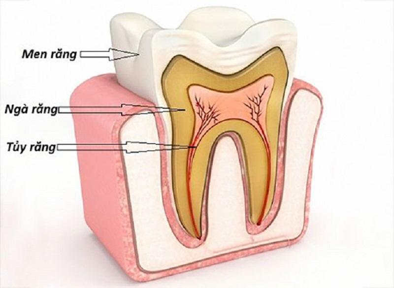 Cấu tạo gồm men răng, ngà răng và tủy răng