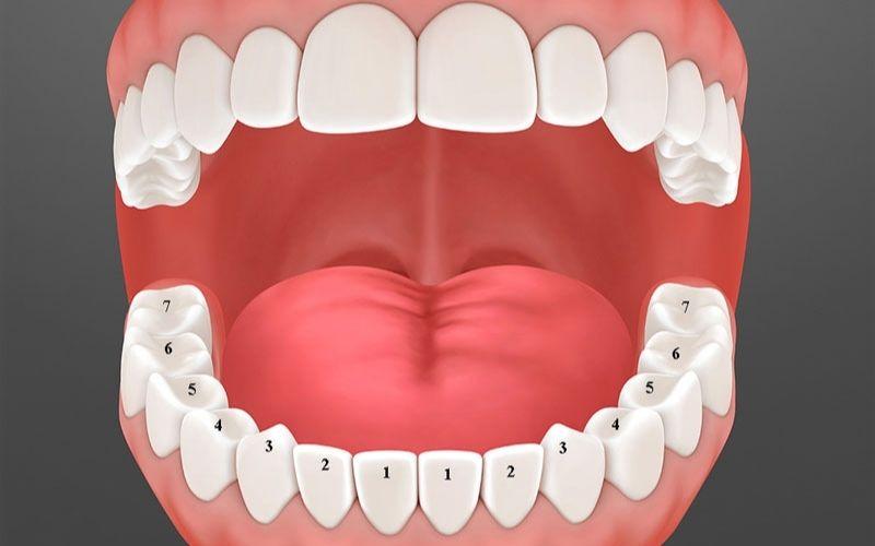 Răng hàm có những chức năng gì